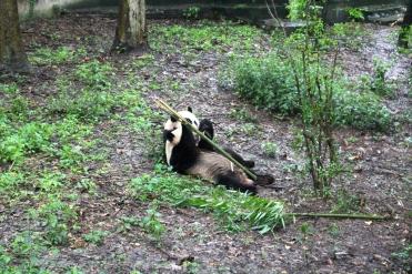 Chengdu Panda Break and Trek _2017_16