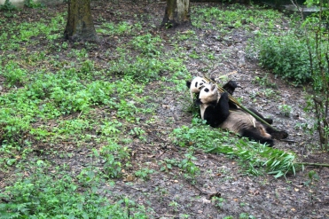 Chengdu Panda Break and Trek _2017_17